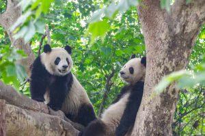 Panda 1 und Panda 2
