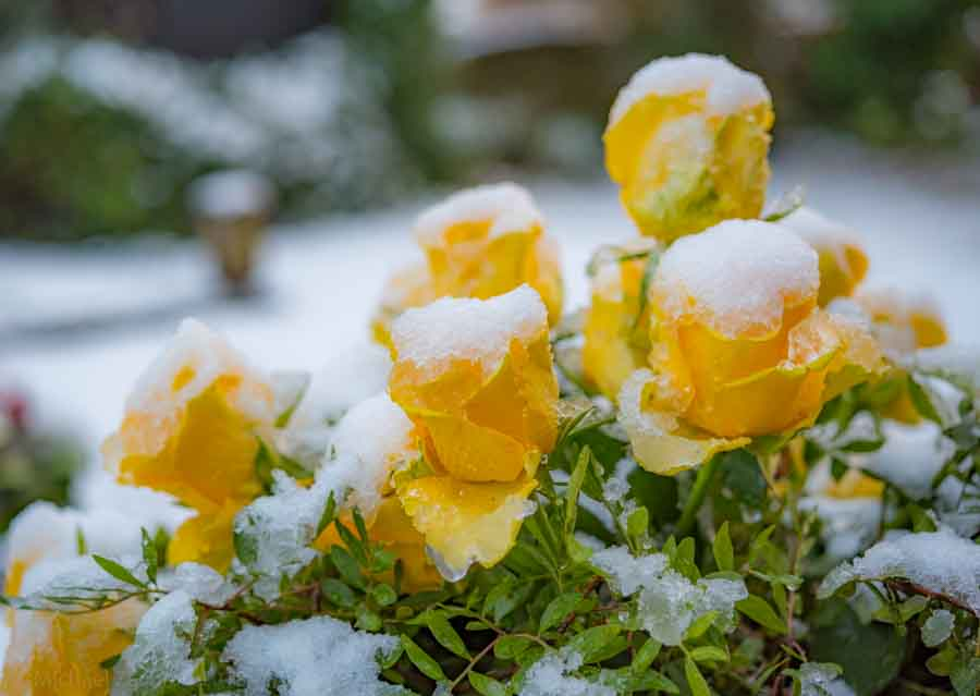 Snow on roses - grave